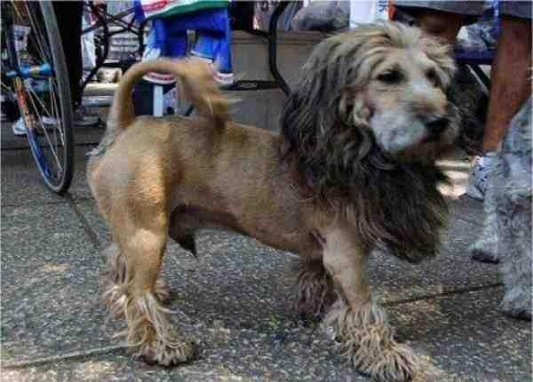 Here is my buddy's schnauzer after a trim. ok I'm lion. -   Misc