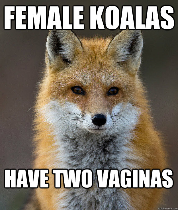 Female Koalas Have two vaginas - Female Koalas Have two vaginas  Fun Fact Fox