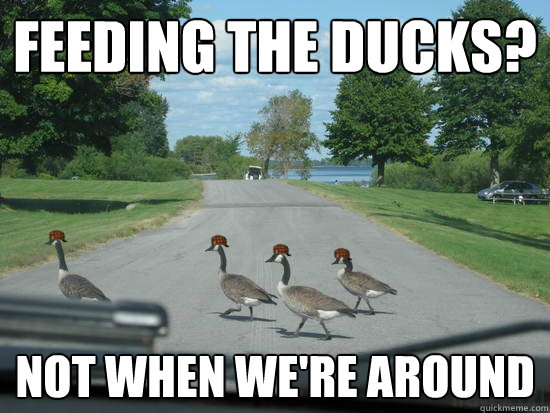Feeding the ducks? Not when we're around  Scumbag Geese