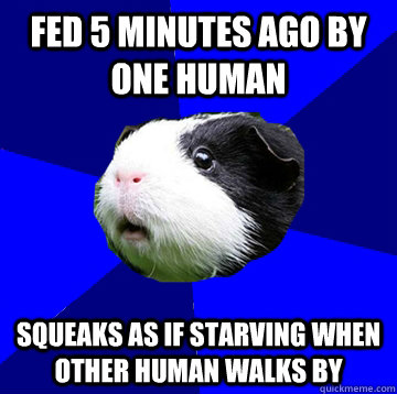 Fed 5 minutes ago by one human Squeaks as if starving when other human walks by - Fed 5 minutes ago by one human Squeaks as if starving when other human walks by  Jumpy Guinea Pig
