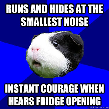 runs and hides at the smallest noise instant courage when hears fridge opening - runs and hides at the smallest noise instant courage when hears fridge opening  Jumpy Guinea Pig
