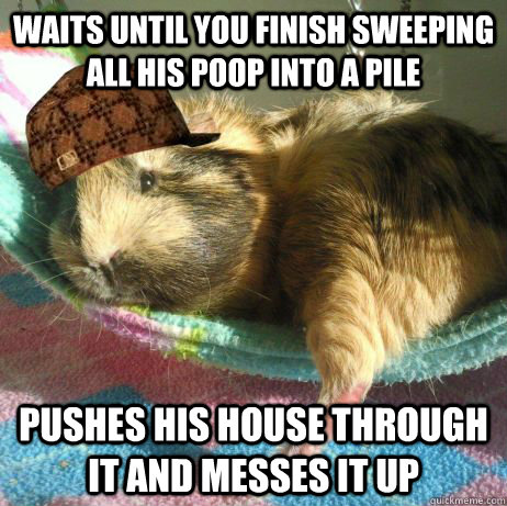 Waits until you finish sweeping all his poop into a pile pushes his house through it and messes it up - Waits until you finish sweeping all his poop into a pile pushes his house through it and messes it up  Scumbag Guinea Pig