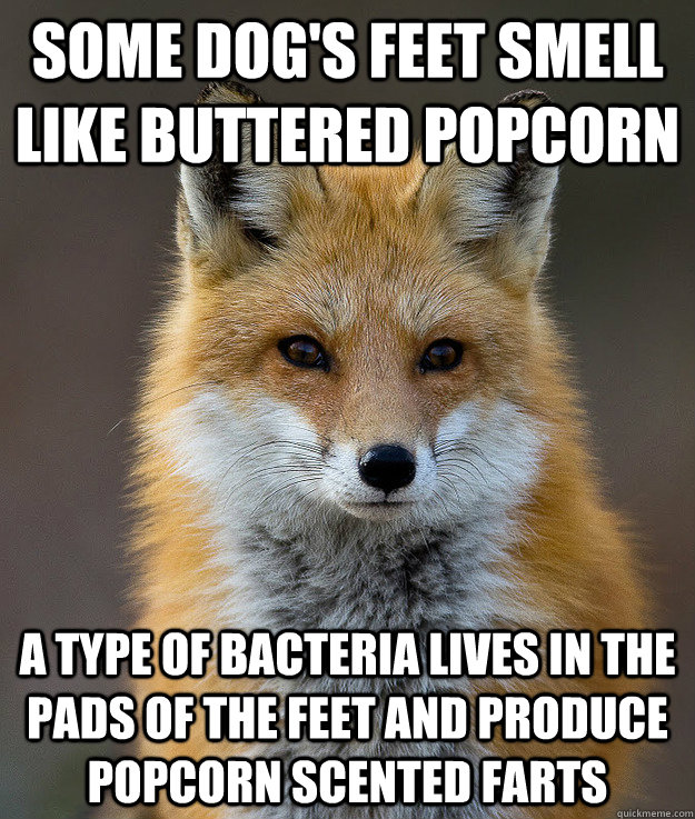 Some dog's feet smell like buttered popcorn a type of bacteria lives in the pads of the feet and produce popcorn scented farts - Some dog's feet smell like buttered popcorn a type of bacteria lives in the pads of the feet and produce popcorn scented farts  Fun Fact Fox