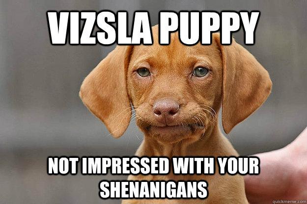 Vizsla puppy not impressed with your shenanigans  Vizsla Not Impressed