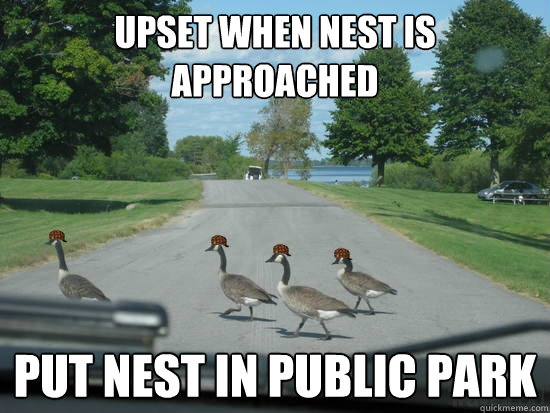 upset when nest is approached put nest in public park  Scumbag Geese