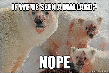 if we've seen a mallard? nope - if we've seen a mallard? nope  Bad News Bears