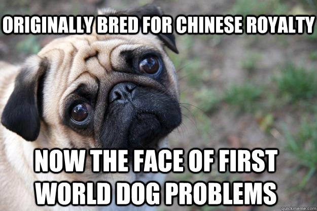 originally bred for chinese royalty now the face of first world dog problems  First World Dog problems