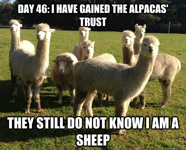 DAY 46: I HAVE GAINED THE ALPACAS' trust they still do not know i am a sheep - DAY 46: I HAVE GAINED THE ALPACAS' trust they still do not know i am a sheep  Misc