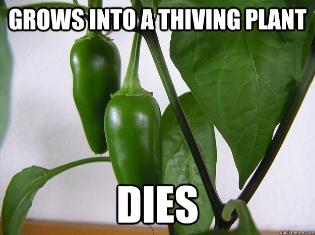 Grows into a thiving plant DIES