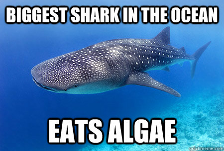Biggest shark in the ocean eats algae