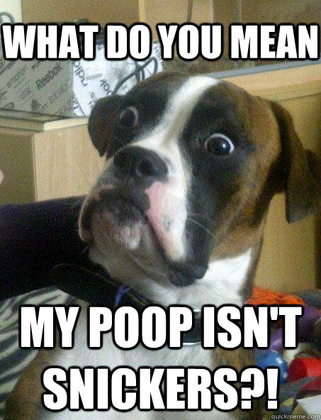 WHAT DO YOU MEAN MY POOP ISN'T SNICKERS?! - WHAT DO YOU MEAN MY POOP ISN'T SNICKERS?!  Baffled boxer