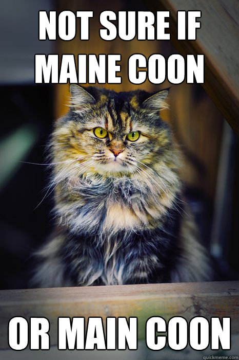 Not sure if Maine Coon or Main coon