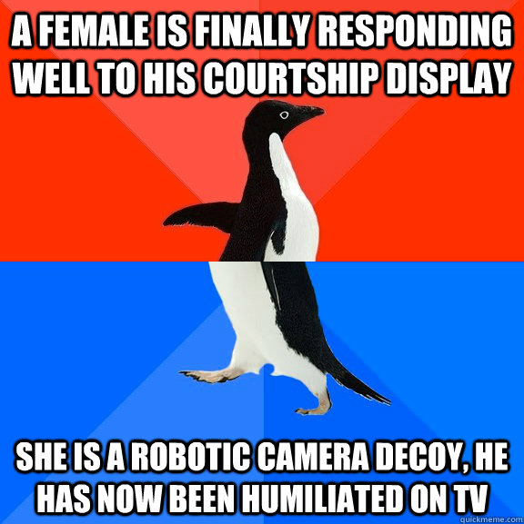 a female is finally responding well to his courtship display she is a robotic camera decoy, he has now been humiliated on tv - a female is finally responding well to his courtship display she is a robotic camera decoy, he has now been humiliated on tv  Socially Awesome Awkward Penguin