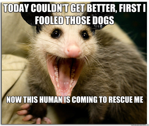 today couldn't get better, first i fooled those dogs now this human is coming to rescue me  Over-Excited Possum