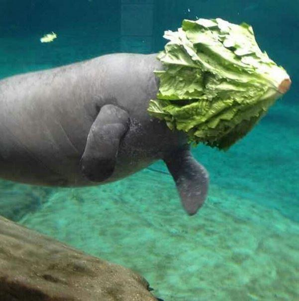 I love manatees because they are so majestic. -   Misc