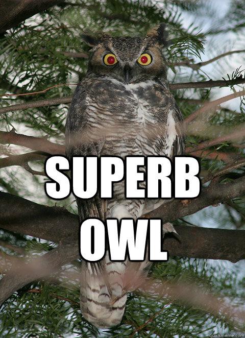 superb owl  Superb Owl