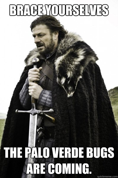 Brace yourselves The Palo Verde bugs are coming. - Brace yourselves The Palo Verde bugs are coming.  Brace Steve