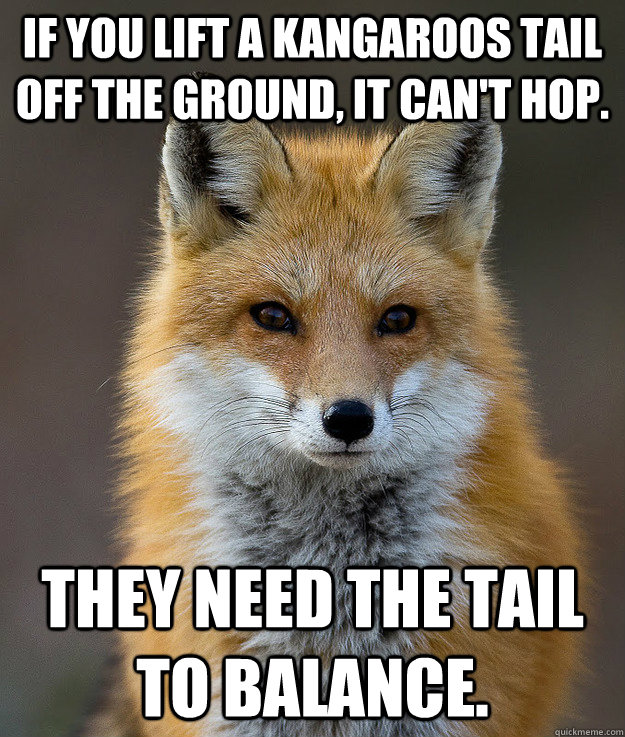 If you lift a kangaroos tail off the ground, it can't hop. they need the tail to balance. - If you lift a kangaroos tail off the ground, it can't hop. they need the tail to balance.  Fun Fact Fox