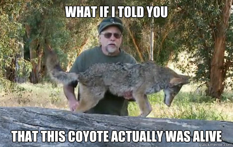 What if i told you  That this coyote actually was alive