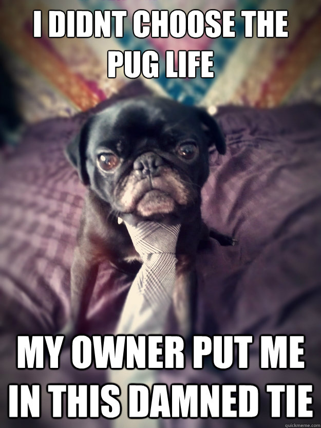 I didnt choose the pug life My owner put me in this damned tie