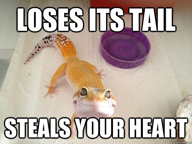loses its tail steals your heart - loses its tail steals your heart  Ridiculously Photogenic Gecko