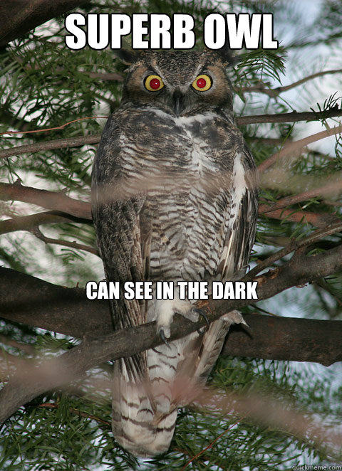 Superb Owl can see in the dark  Superb Owl