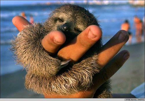 ♥   cute baby sloth