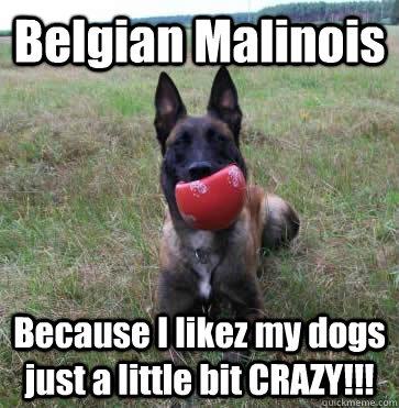 75fe72f50ab966cf7c01d38b3b87c7ff359462dbed190cd1c2029ae3a35c1ed5 belgian malinois because i likez my dogs just a little bit crazy
