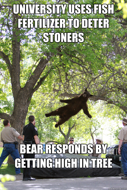 University uses fish fertilizer to deter stoners Bear responds by getting high in tree