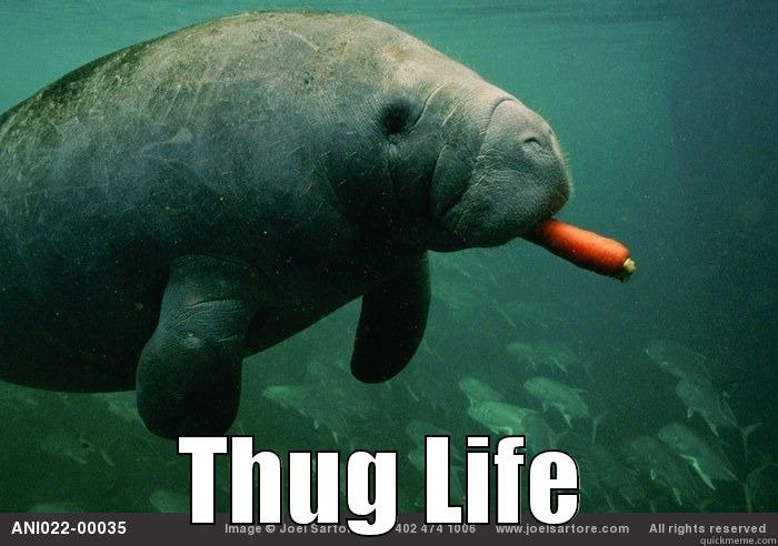 Funny Manatee Meme : Manatee meme images best about calming