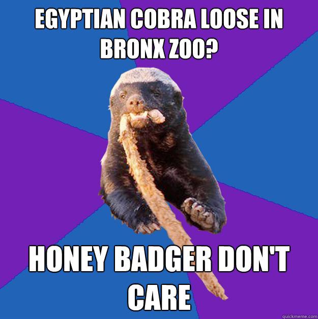 Egyptian Cobra loose in Bronx zoo? honey badger don't care