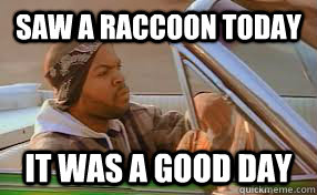 saw a raccoon today It was a good day