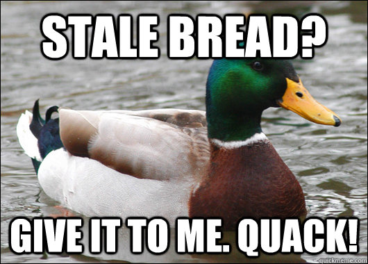 stale bread? give it to me. quack! - stale bread? give it to me. quack!  Actual Advice Mallard