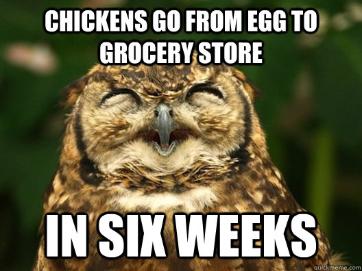 Chickens go From egg to grocery store in six weeks