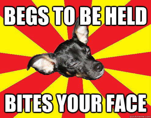Begs to be held bites your face  - Begs to be held bites your face   Texy Tex innocent dog meme