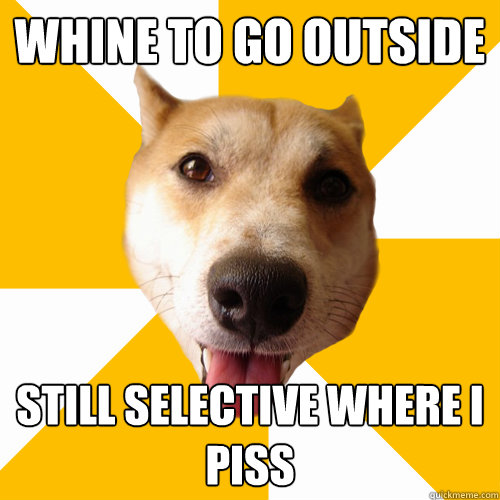 WHINE TO GO OUTSIDE STILL SELECTIVE WHERE I PISS  Territorial Shiba Inu