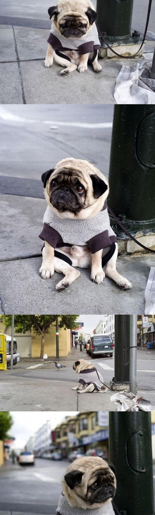 Depressed Pug Is Depressed