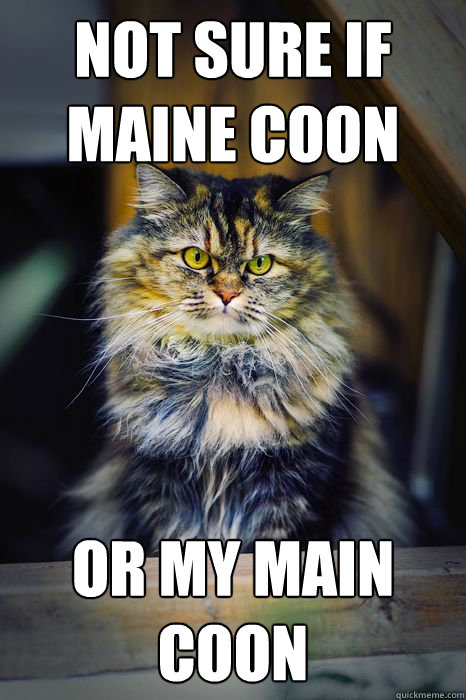 Not sure if Maine Coon or my Main Coon