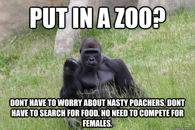Put in a zoo? dont have to worry about nasty poachers, dont have to search for food, no need to compete for females.  Success Gorilla