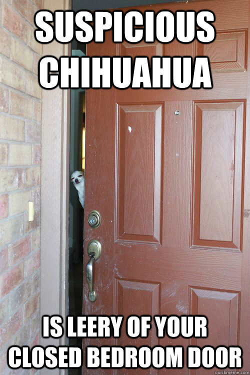 Suspicious Chihuahua is leery of your closed bedroom door