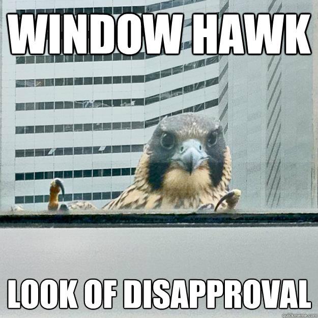Window Hawk Look of disapproval - Window Hawk Look of disapproval  Window Hawk