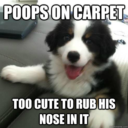 Poops On Carpet Too cute to rub his nose in it - Poops On Carpet Too cute to rub his nose in it  Ridiculously Photogenic Puppy