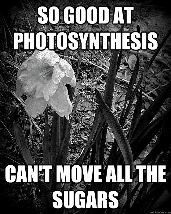 So good at photosynthesis can't move all the sugars - So good at photosynthesis can't move all the sugars  First World Plant Problems
