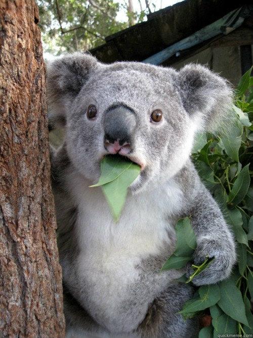 -    Surprised Koala